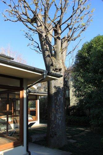 尾崎士郎記念館ーケヤキ.jpg